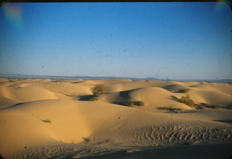 Calf Desert Sand
